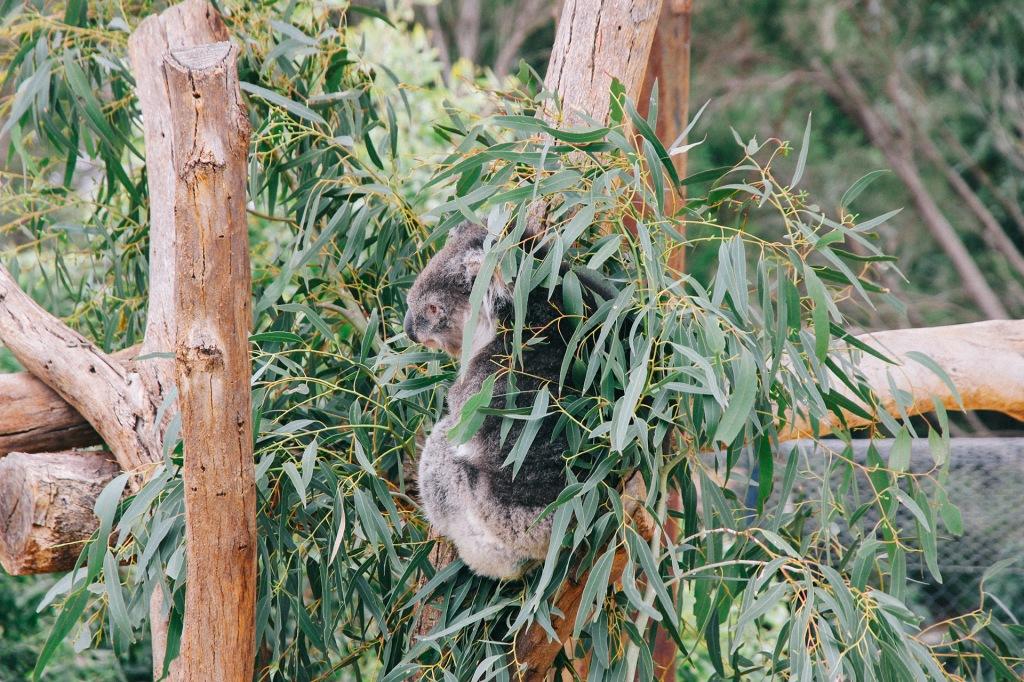 Gấu koala ở Werribee